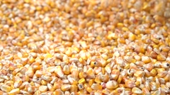 Farmer looks at a rich harvest of corn. - stock footage