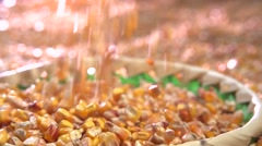 Corn is poured into a bowl. Farmer looks at a rich harvest of corn. - stock footage
