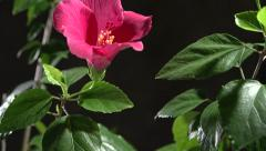 Red flower blossoms on a black background. Time lapse. Stock Footage
