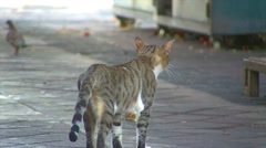 Feral Stray Cat Look back at the Camera Stock Footage