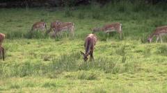 Female red deer among fallow deers Stock Footage