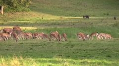 Fallow deer in large numbers grazing Stock Footage