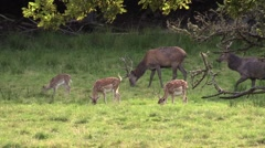 Red deer stags and fallow deer together in grass Stock Footage