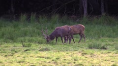 Red deer stags with antlers grazing Stock Footage