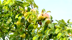 Delicious apples on a tree, 4k footage Stock Footage