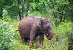 indian elephant eating - stock photo
