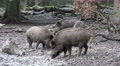 4k Wild boars close up digging muddy ground at rainy day 4k or 4k+ Resolution