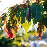 Silver maple, Acer saccarinum - stock photo
