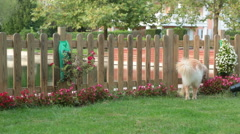 Golden Retriever plays and tumbles in the garden Stock Footage