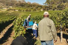 Vineyard workers transporting grapes to winery - stock photo