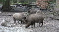 Wild boars close up digging muddy ground at rainy day HD Footage