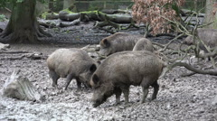 Wild boars close up digging muddy ground at rainy day Stock Footage