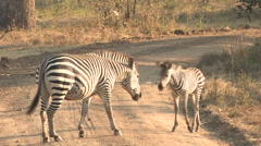Zebra in the South Luangwa National Park, Zambia Stock Footage