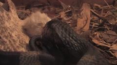 A Cobra Eats a Mouse Stock Footage