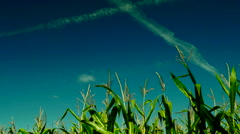 Corn field at sunny late summer day waving on wind,plane traces,intense blue sky Stock Footage