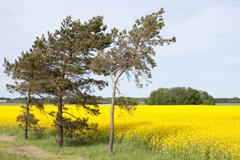 rape field and trees - stock photo