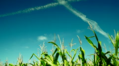 Hued corn field with slant of wind on a sunny day,plane traces, hot blue sky - stock footage