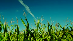 Green corn field with slant of wind on a sunny day,plane traces - stock footage