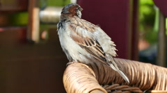 Sparrow preening its feathers Stock Footage