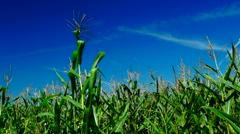 Corn field , wind , august, indigo sky,plane traces Stock Footage