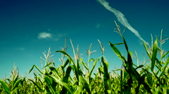 Green maize corn plants growing in cultivated agricultural field,plane traces - stock footage