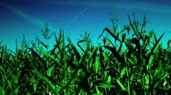Corn field, wind, gradient sky,august, plane traces Stock Footage