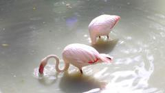 Flamingos eating in lake Stock Footage