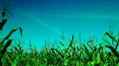 Maize field, wind on a sunny day,plane traces, pan Stock Footage