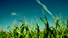 Hued corn field with plane traces on the sky - stock footage
