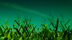 Hued corn field with slant of wind on a sunny  august day,plane traces - stock footage
