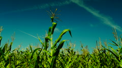 Corn field with wind, august, ,plane traces - stock footage