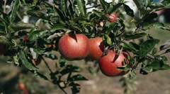Red juicy apples grow on trees Stock Footage