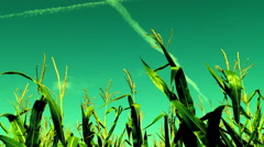 Maize field, wind, august, surreal sky,plane traces Stock Footage