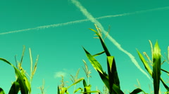 Corn field,  wind,sunny day, plane traces, low angle shot - stock footage