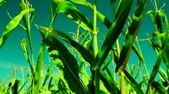 Hued corn field, wind, sunny day, tilt Stock Footage