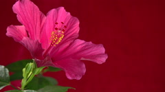 Drop of water dripping from a red flower on red background. - stock footage