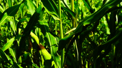 Corn field moving in the wind on a sunny day, tilt stem with cob.Traces of plane Stock Footage