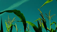 Vibrant corn field moving in the wind on a sunny day Stock Footage