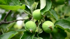 Human hands touch green unripe apples Stock Footage