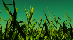 Corn field blowing in the wind on a sunny summer day Stock Footage