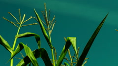 Hued corn field with slant of wind on a sunny day,plane traces - stock footage