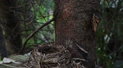 Wood scene with redwing near nest Stock Footage