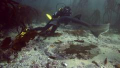 Scuba divers watching seven gill cow shark in kelp forest - stock footage