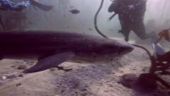 Scuba divers watching seven gill cow shark in kelp forest Stock Footage