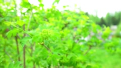 Green Bush Branch on Garden Background Stock Footage
