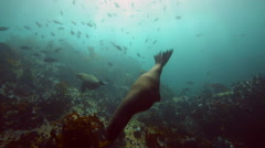Cape fur seals swimming in ambient light underwater Stock Footage