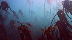 Underwater view of kelp forest Stock Footage