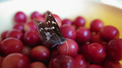 Stock Video Footage of Butterfly feeding on wax cherries