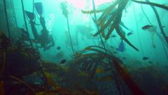 Scuba diving through kelp forest underwater Stock Footage