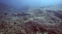 Ragged tooth shark (sand tiger shark) swimming over reef a Stock Footage